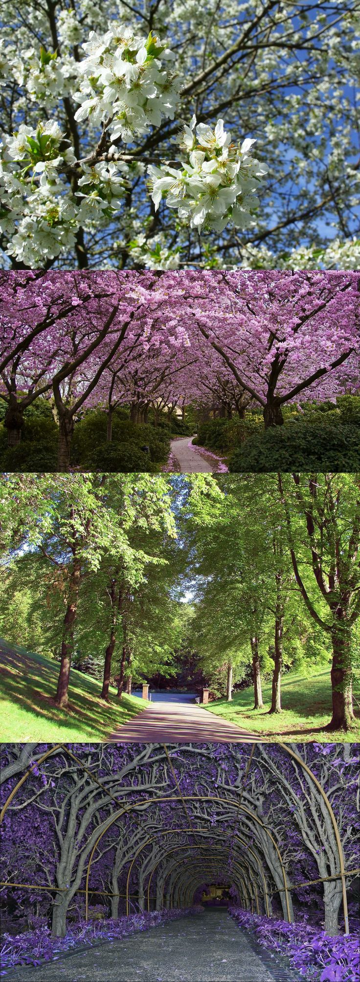 38 best Cherry trees images on Pinterest   Cherry blossoms ...