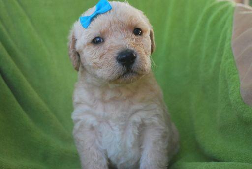 Litter of 9 Labradoodle puppies for sale in ALPINE, UT. ADN-32239 on PuppyFinder.com Gender: Female. Age: 4 Weeks Old