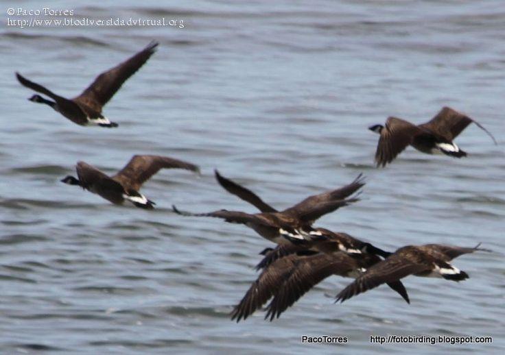 Nombre científico: Branta canadensis, Descripción: Barnaclas canadiense volando cerca de la costa., Provincia/Distrito: Escocia, País: Reino Unido, Fecha: 10/08/2016, Autor/a: Paco Torres, Id: 73145