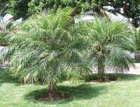 Pygmy Date Palm Tree, Phoenix roebelenii: Cold hardy