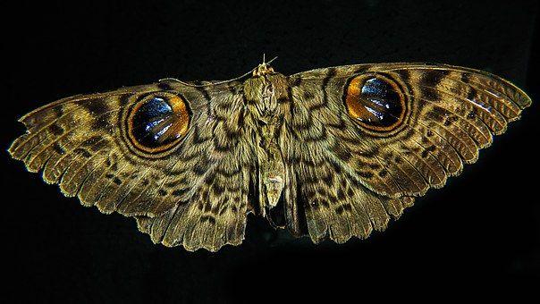 Nachtfalter Motten Moth Falter Motte Nachtfalter