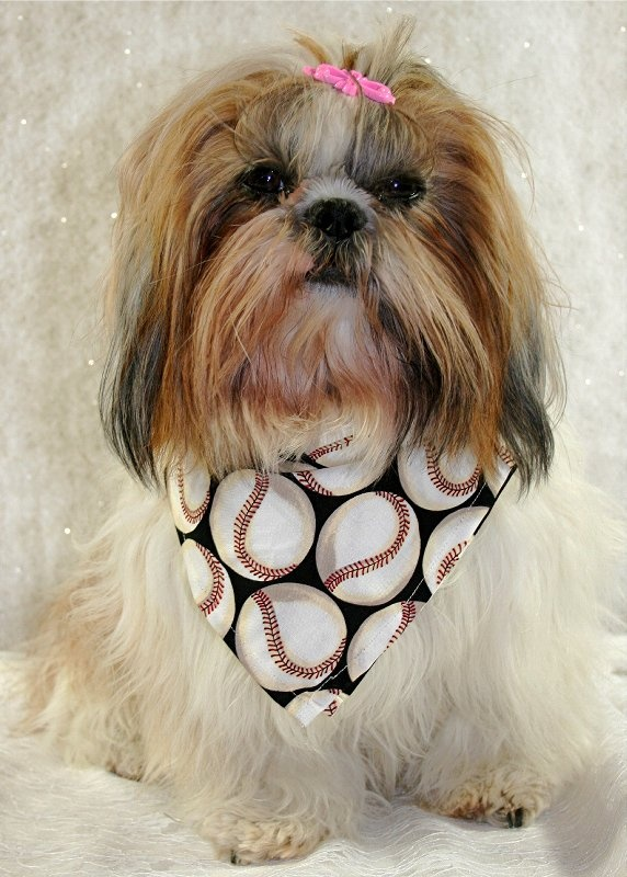 shih tzu hair care 1000 images about shih tzu on pinterest big thing 4531
