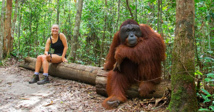 Borneo Orangutan Tour package is Beyond Bali package tour that we deliberately set up for the tourists to enjoy the experience Borneo Orangutan Park. #orangutantour #borneoorangutantour #borneotour #borneoadventure #orangutantourpackage