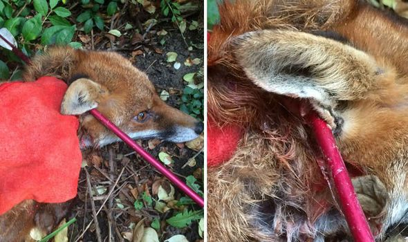 ONLY a miracle and the brilliant work of a vet saved this young fox from an agonizing death after it was shot with a crossbow.   http://www.express.co.uk/news/nature/627268/fox-shot-arrow-crossbow-through-neck-save  Fox hunting arrow