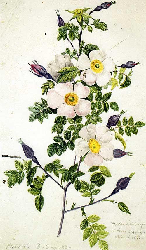 Redouté: Rosa pimprenelle. 1822