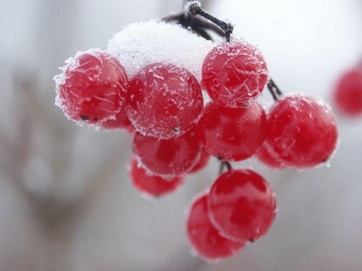 ЦЕЛЕБНЫЕ свойства КАЛИНЫ: простые рецепты.Калина - одна из самых ПОЛЕЗНЫХ ягод в природе.В калине всё ЦЕЛЕБНО: кора, веточки, цветы, ягоды и сушёные косточки.Наши предки о лечебных свойствах калины,…