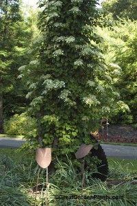 Climbing Hydrangea or Hydrangea petiolaris is a stunning flowering vine for shade.   I like it