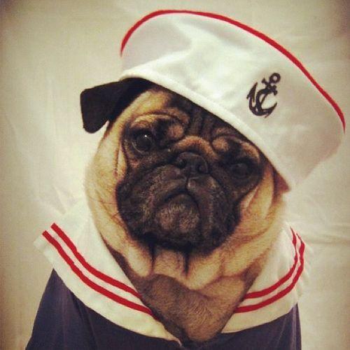 Pugeye the Sailor dog :)