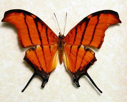 peru butterflies | Marpesia petreus real Ruddy Daggerwing butterfly butterflies from Peru ...
