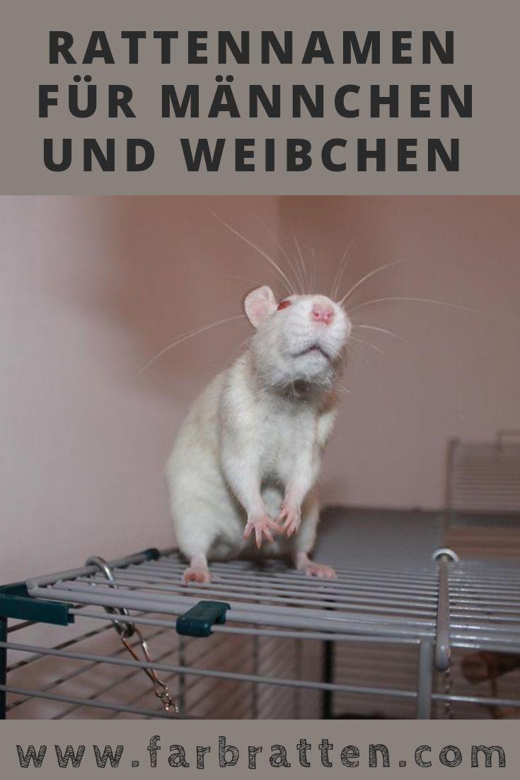 Rattennamen Bedeuten Fur Mannchen Und Weibchen Jede Ratte Sollte F Farbratten Com Farbratten Ratte Haustier Ratten