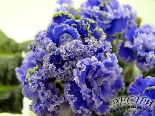 Saintpaulia-African-Violet-RS-Venetsiya-Leaf-Ukrainian-Variety