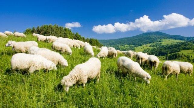 Wypas przyjazny dla środowiska! http://puszystaowca.pl/ekologiczny-wypas-owiec/
