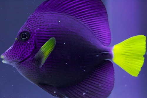 1000 images about fiona 39 s fish on pinterest panthers for Purple saltwater fish