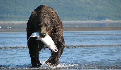 A bear successfully hunting for salmon in Alaska.