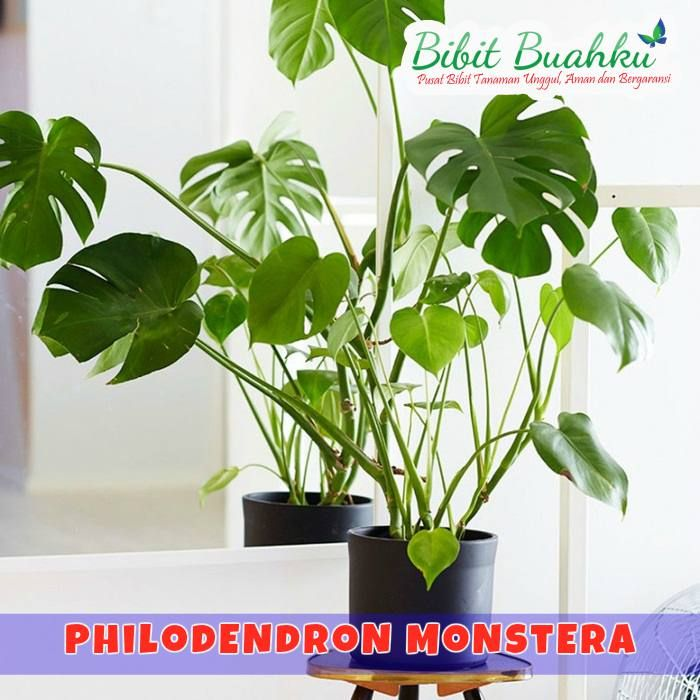 Jual Tanaman Philodendron Monstera (Split Leaf Philodendron)