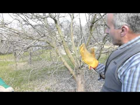 Principles of pruning a vase shape apple tree