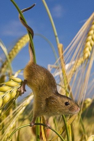 A harvest mouse climbs down a wheat stalk - the harvest mouse - Le rat des moissons, souris des moissons ou souris naine, en latin Micromys minutus