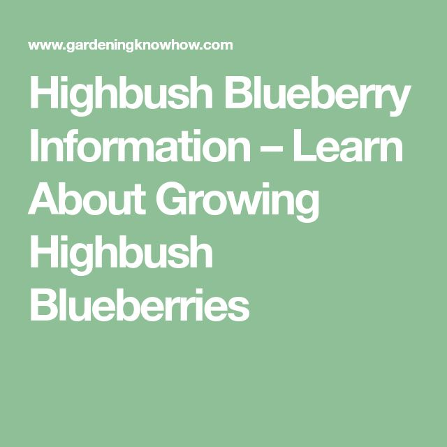 Highbush Blueberry Information – Learn About Growing Highbush Blueberries