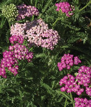 Achillea Millefolium Island Pink California Native Plant Colorful Flowers In Spring Summer And Fall Make Good Cut Ferny Green F
