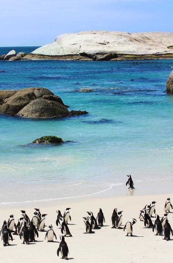 Boulders Beach in Cape Town, South Africa is home to colonies of African Penguins. You can walk along the boardwalk to observe them as they run along the beach near Simon's Town.