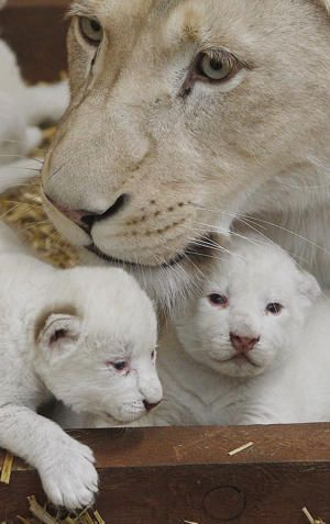 Rare white lion triplets born in Poland - white lioness Azira lies in their cage with two of her three white cubs that were born last week.
