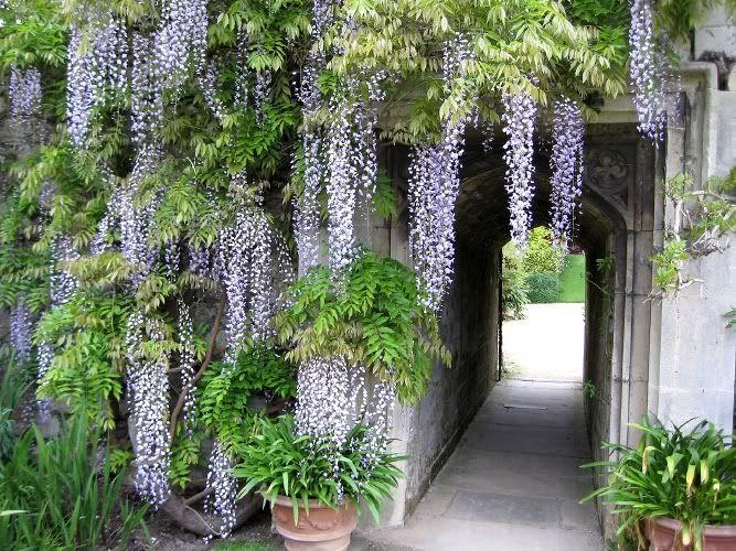 pnącza ogrodzeniowe, altanach, pergolach ...