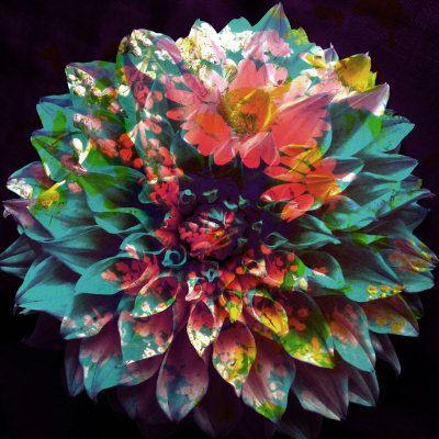 Dahlia Multicolor II - ALAYA GADEH