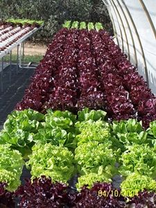 We've assembled some links to instructions on how to build your own DIY aquaponics garden.  Photo courtesy of Dezsery.