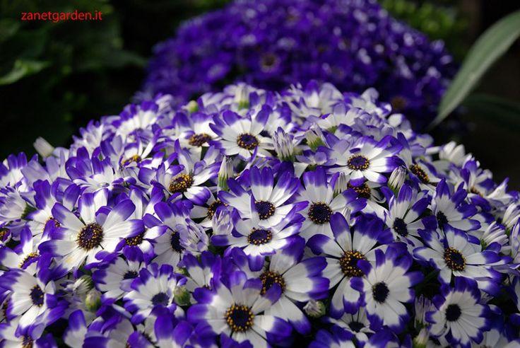 cineraria bianco/blu