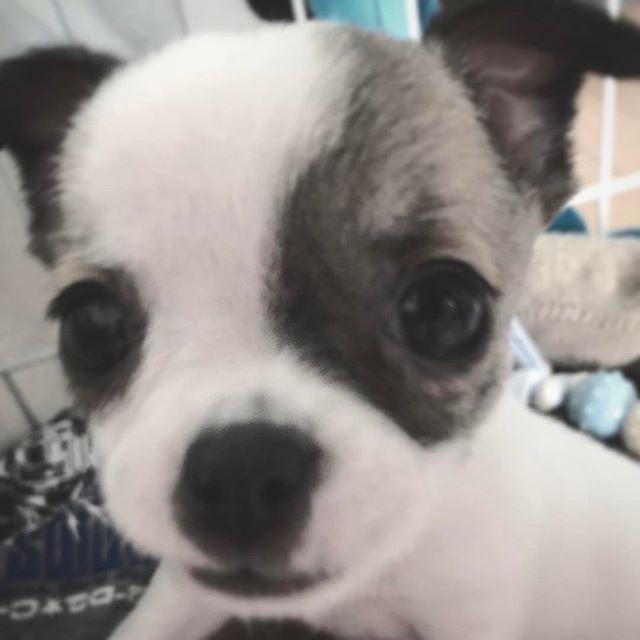 BUNTA #dog #dogs #chihuahua #pet #animal #ikea #flyingtiger #cool #cooldesign #simple #simpledesign #design #fashion #muji #犬 #ペット #愛犬 #動物 #無印良品 #クール #シンプル #デザイン #ファッション #lego_up
