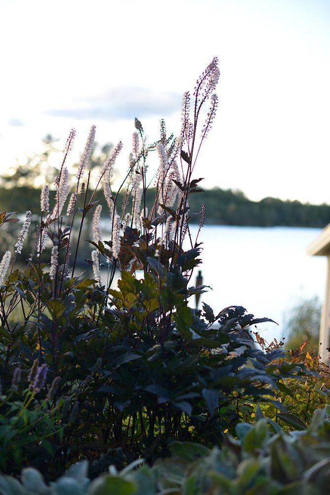 Blodax (Höstsilverax Actaea simplex 'Brunette') - Ska ni plantera en växt i höst så är det blodax ni ska välja. Den trivs i soligt läge och önskar fuktig jord. Min erfarenhet är att regniga somrar gynnar blomningen.