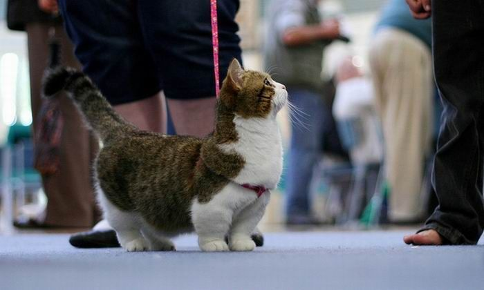 Munchkin Cat: The Munchkin is a cat breed created by a naturally occurring genetic mutation that results in cats with abnormally short legs. However, the shortness of their legs does not seem to interfere with their running and leaping abilities.