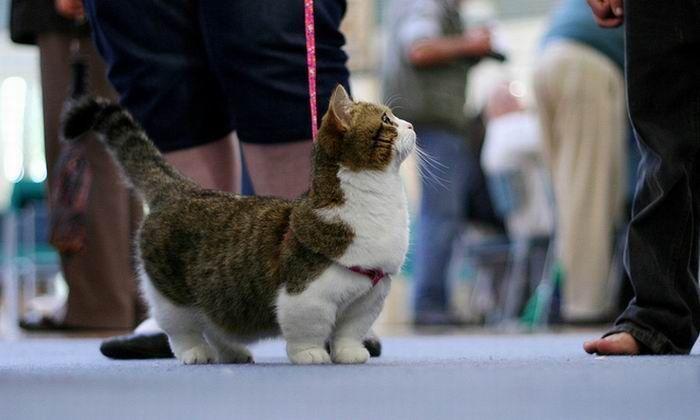 munchkin cat on a leash pets pinterest short legged cats short legs and cat breeds. Black Bedroom Furniture Sets. Home Design Ideas