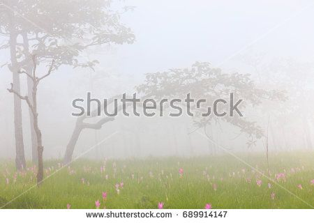 Siam tulip  flower of pink In the morning with foggy misty  in Chaiyaphum province, Thailand. This kind of flower placed only in this province of the world.