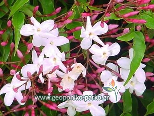 Αειθαλή αναρριχώμενα φυτά : Γιασεμί πολυανθές - Jasminum polyanthum - γλ. 2,5 lt