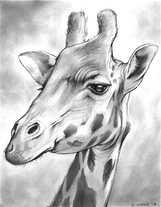 Pencil drawing of a giraffe