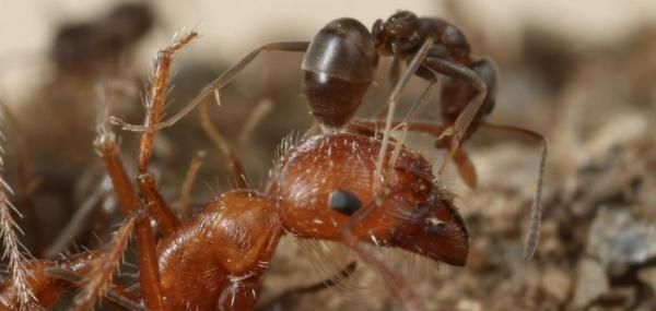 Global takeover by Argentine ants fueled by chemical weapons