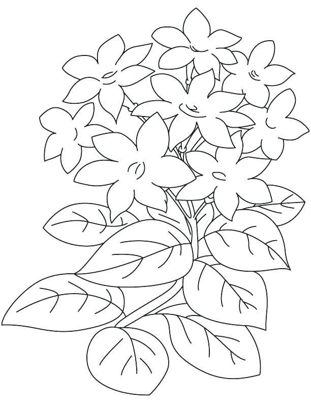 Coloring Pages Of Jasmine Jasmine Flower Coloring Pages Jasmine S