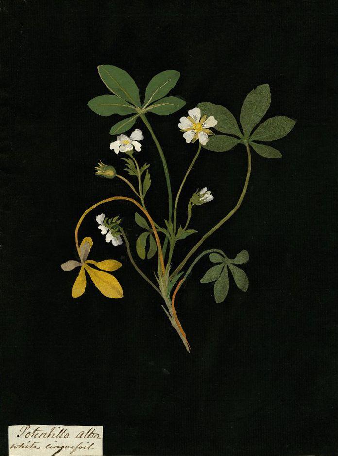 Mary Delany, Potentilla Alba (White cinquefoil) collage, 1777 .