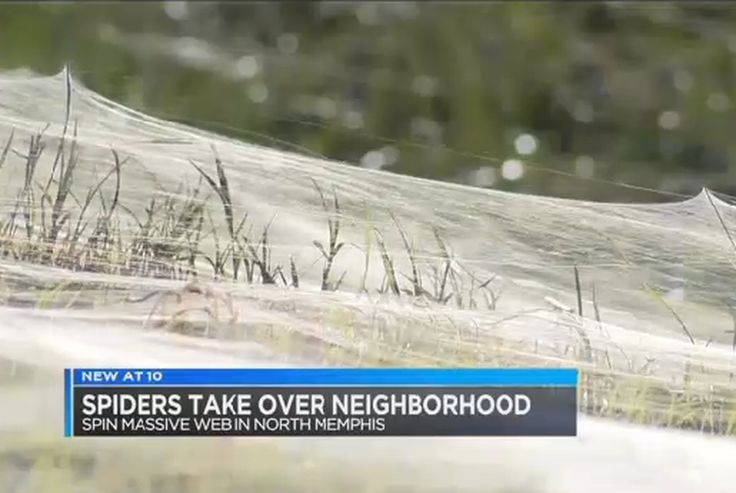 """Tennessees half-mile-long spider web shows how little we know about our surroundings Last week residents of North Memphis Tennessee woke up to what most people would consider a pretty creepy surprise: a half-mile-long spider web on the grass near their homes. Local news station WMC Action News 5 reported that """"millions"""" of spiders had """"infested"""" one of the city's neighborhoods. But what this story more accurately reveals is just how little humans know about their surroundings; after all this…"""
