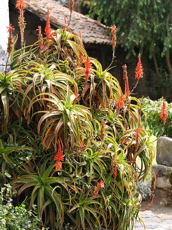 Xxl Candelabra Plant Aloe Arborescens Md Big 8 Round Pot Plants Arborescens Tall Flowers