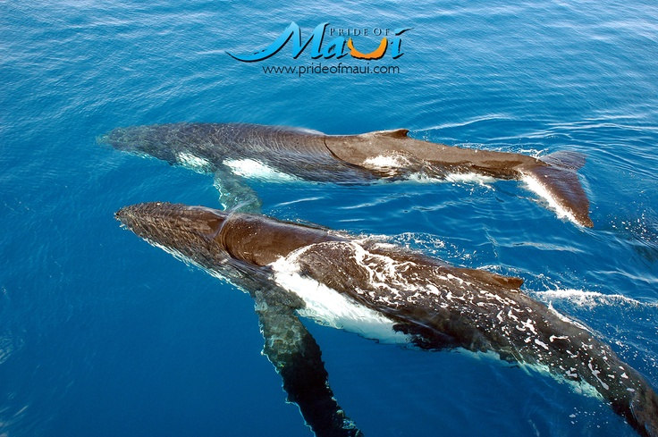 Pride of Maui whale watching