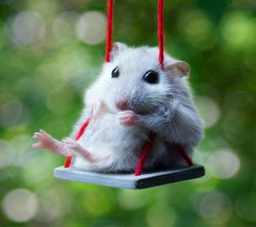 Hamster on a little swing. Need I say more?