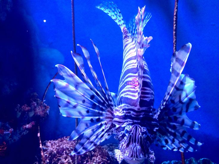 Lion fish @Sea life Bangkok   #sealife #sleepover