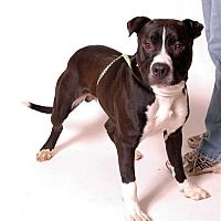 Columbus, Ohio - Pit Bull Terrier. Meet Mickey, a for adoption. https://www.adoptapet.com/pet/20291309-columbus-ohio-pit-bull-terrier-mix