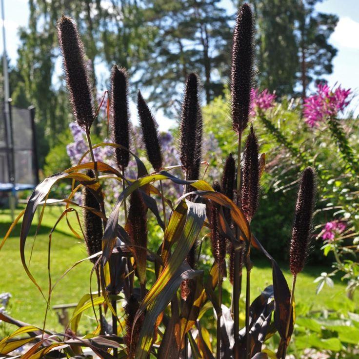 PÄRLHIRS F1 'Purple Majesty' i gruppen Ettåriga blomsterväxter / Gräs hos Impecta Fröhandel (86381)