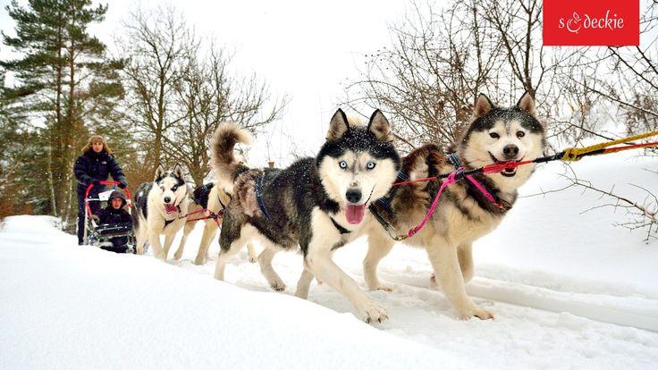 Zima jest żywiołem tych psów, fot. A.Klimkowski