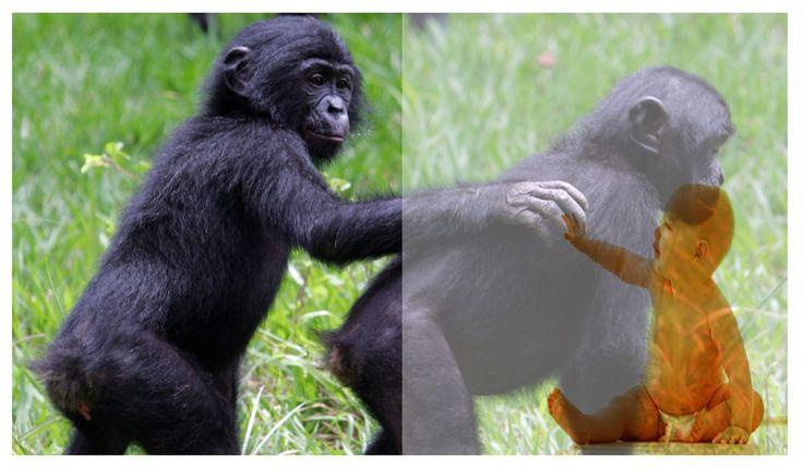 Amantes de la ciencia y Tecnología : Bebés humanos y bonobos comparten formas de comuni...