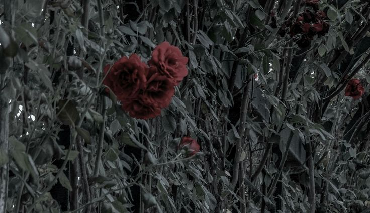 Rose photography camera