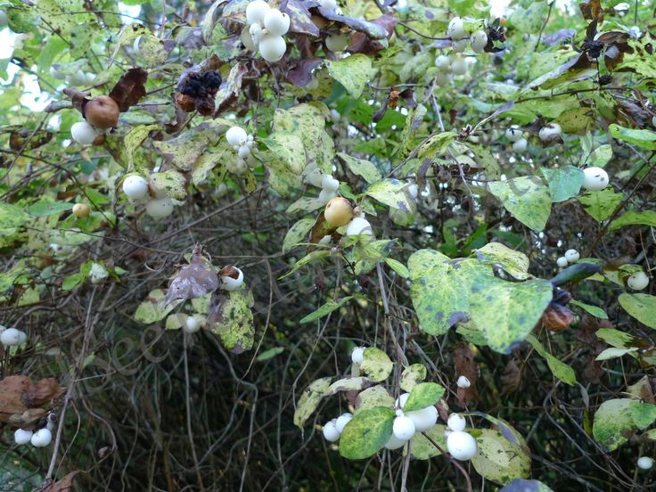 Autumn hedge snowberries, Symphoricarpos, instant digital download photograph…
